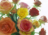 Meanings and colors of roses