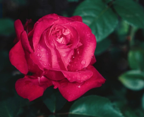 """""""history of roses"""""""