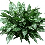 """Chinese Evergreen"""